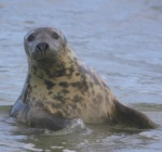 Where to see seals around the Stacks of Duncansby.
