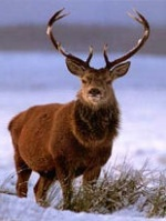 Where to see deer in Caithness.